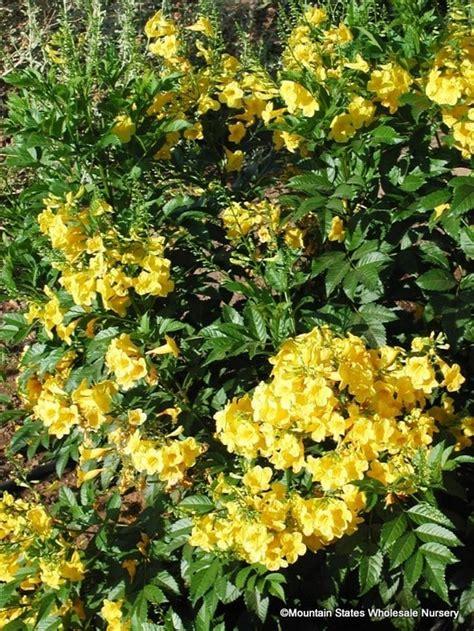 tecoma stans  stans gold star yellow bells esperanza