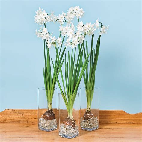 Paperwhite Vase by Paperwhite Ziva Trio In Glass Vases White Flower Farm
