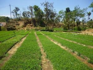 Jual Bibit Sengon Laut Terbaik Di Dunia bibit sengon solomon agro sejahtera