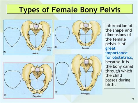 different type pubic anatomy of the pelvis ppt video online download