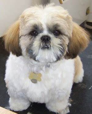 dog haircuts austin puppies and kittens quotes quotesgram