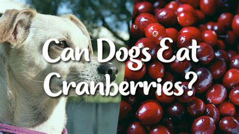 can dogs eat cranberries can dogs eat cranberries pet consider