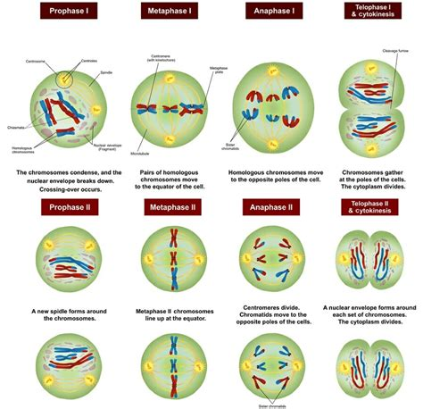 Meiosis - Definition, Stages, Function and Purpose ... Meiosis Stages