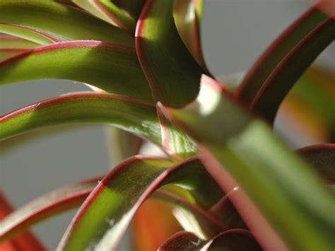 zimmerpflanzen die viel sonne vertragen drachenbaum 187 wie viel sonne vertr 228 gt er