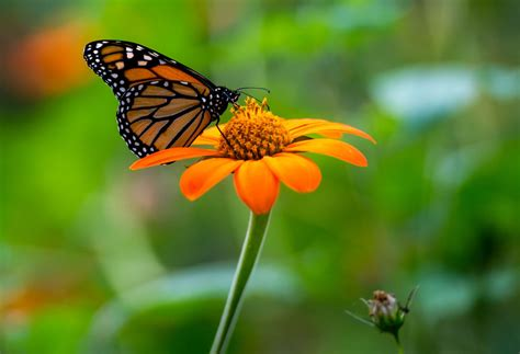 the butterfly the lonely flight of the monarch butterfly nelson news newsadvance com