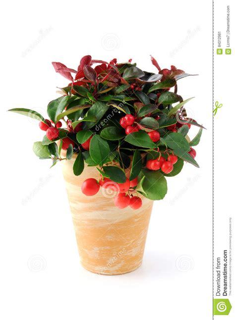 fiori di bacca vaso da fiori di gaultjeria della bacca della neve su