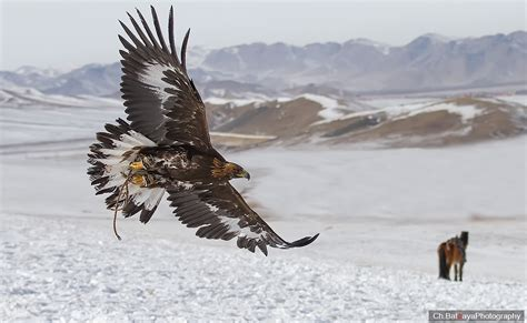 with golden eagles in mongolia