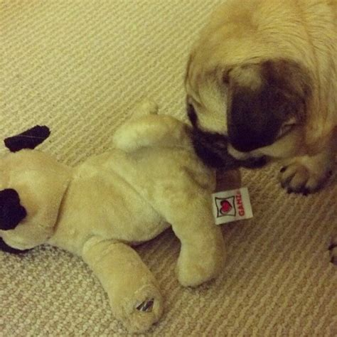 pug honking cough 394 best oh those pugs images on pug puppies pugs and pug dogs
