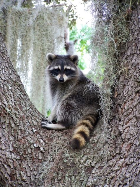 1297 best images about raccoons on a tree