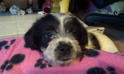 shih tzu cross for sale shih tzu mix puppies for sale breeds picture