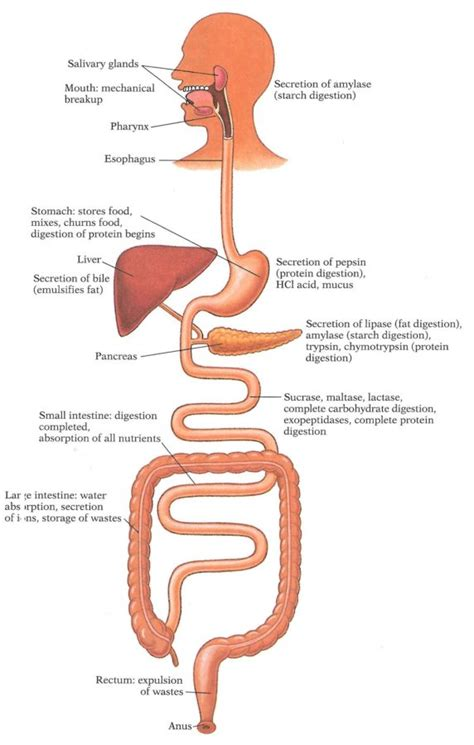 Digestion In The Diagram digestive system diagram diagram site