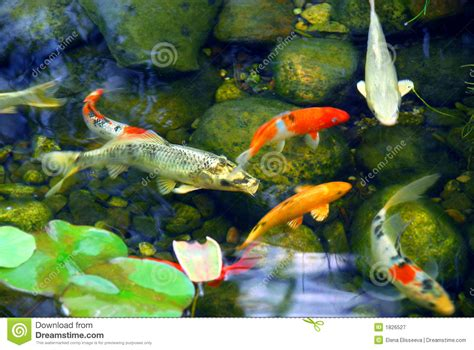 Koi Pond In Backyard Koi Pond Stock Image Image Of Japanese Clear Garden