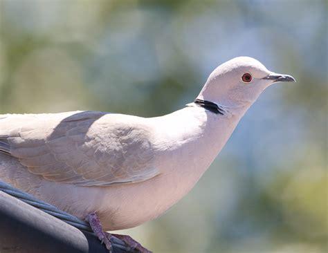 Setrika Yang Paling Bagus burung labet yang paling bagus burung labet