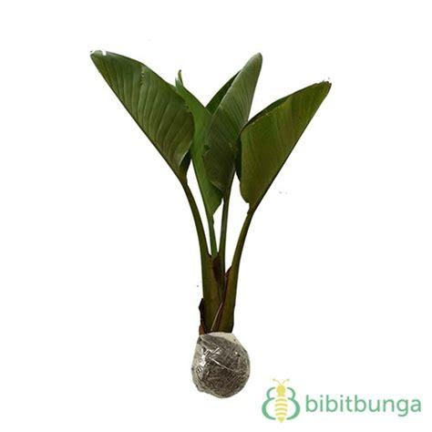 Pohon Pisang Kipas tanaman pisang kipas traveller s palm jual tanaman
