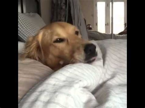 golden retriever up golden retriever slowly wakes up