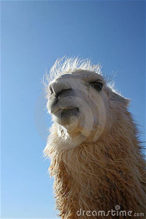 funny llama face stock photography image