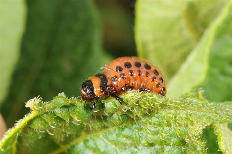 vegetable garden insects managing insects in the home vegetable gardens
