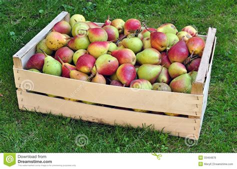 fruit yield pears fruit crop yield royalty free stock image image