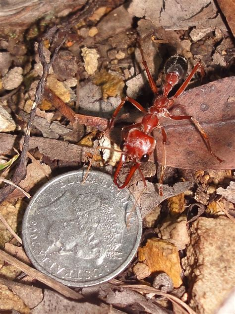red bulldog ant    piece   ant   flickr