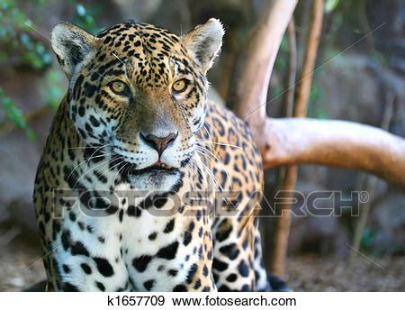 Search Jaguar Stock Photograph Of Jaguar K1657709 Search Stock
