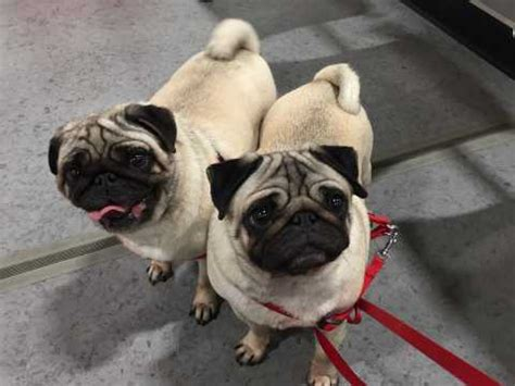 pugs for sale in baton pug breed information buying advice photos and facts pets4homes
