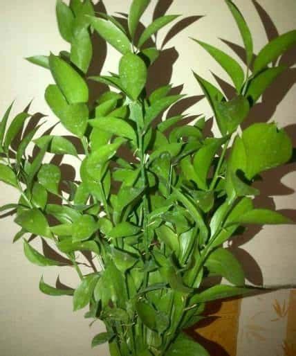 jual tanaman daun ruskus bibit