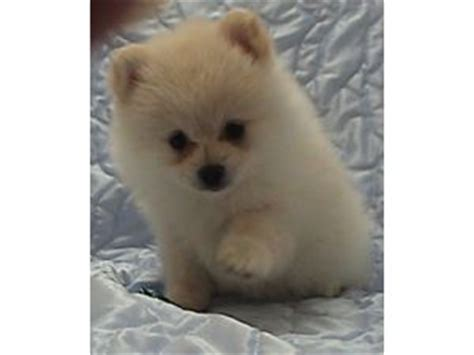 pomeranian breeders in arkansas pomeranian breeders oregon