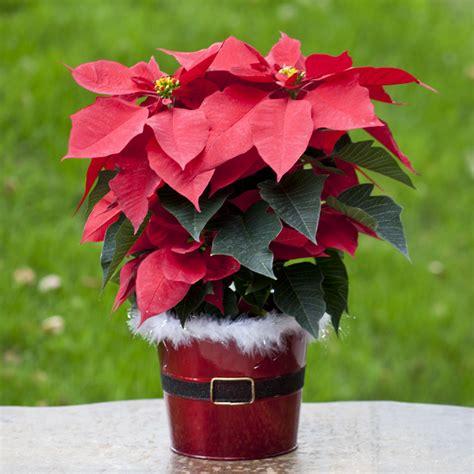 christmas plants christmas plants