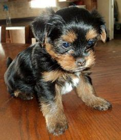 yorkie puppies for sale on ebay 1000 images about my yorkie on yorkie terriers and terrier