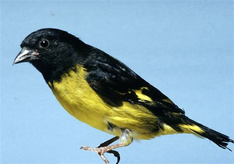 neotropical siskin all birds wiki