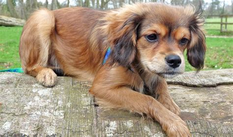 king charles spaniel and pomeranian 10 cavalier king charles spaniel cross breeds you to see to believe