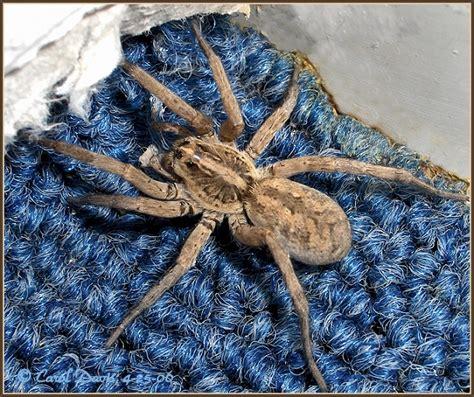 Garden Spider Utah Wolf Spiders In Utah Trocosa Arctosa And Alopecosa Cuneata