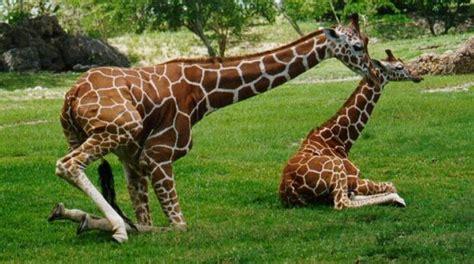 imagenes de jirafas con reflexion informaci 243 n sobre los animales viv 237 paros toda la