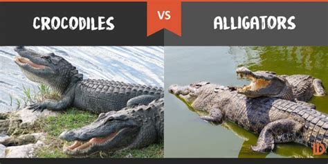 Alligator Vs Crocodile | www.pixshark.com - Images ...