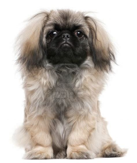 pekingese dogs black and white boxer mix puppies black free engine image for user manual