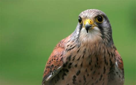 Falcon Bird Wallpaper peregrine falcon wallpapers phone animals wallpapers