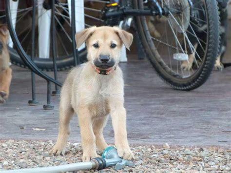 chinook puppy goals
