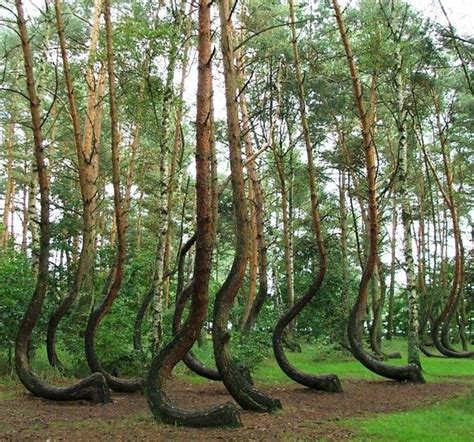crooked forest poland crooked forest poland amazing places