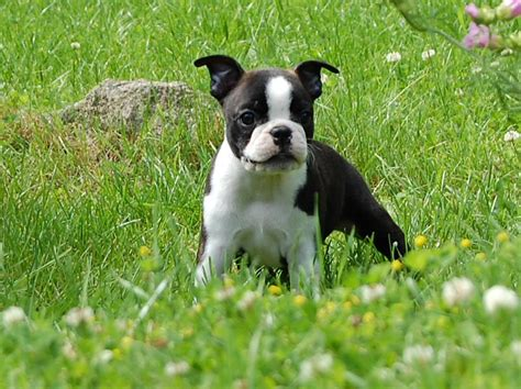 terrier puppies for free free boston terrier puppies 10 free wallpaper dogbreedswallpapers