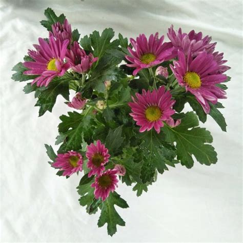 Tanaman Pink tanaman krisan aster fuschia pink bibitbunga