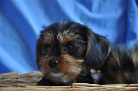 king charles yorkie puppies for sale cavalier king charles x terrier reduced fareham hshire pets4homes