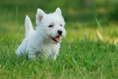white terrier puppy west highland white terrier puppy portrait photograph by waldek dabrowski