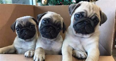 pug puppies ny do you want the best pug puppy in new york ny