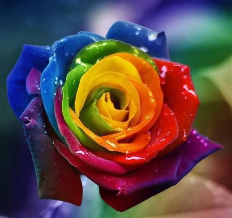 rainbow colored roses 17 best images about rainbow colored roses on