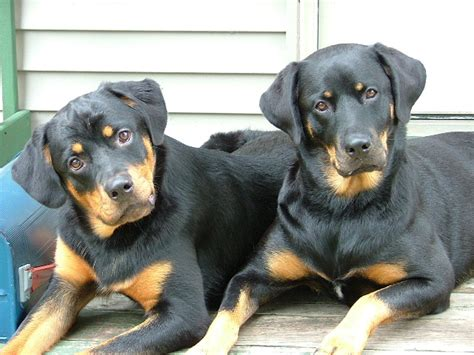 german vs american rottweiler the gallery for gt german rottweiler and american rottweiler what is the difference