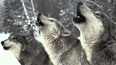 howling sounds wolf pack howling sound only