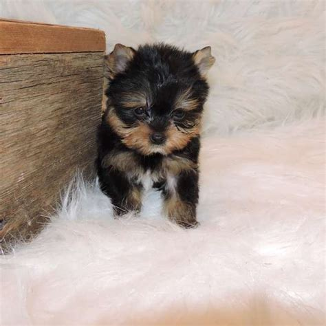 tiny teacup yorkies for sale in tiny terrier puppy for sale nathan teacup yorkies sale