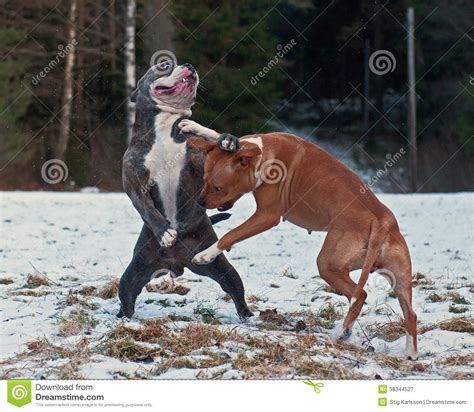 pitbull fight 50 most beautiful pit bull pictures and photos