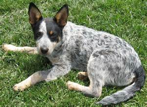 Tail cattle dogs also known pictures to pin on pinterest