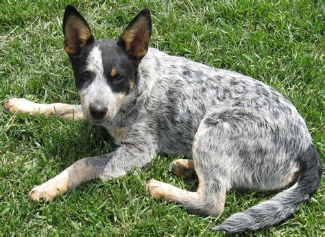cattle dogs australian stumpy cattle puppies rescue pictures information